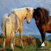 Oktober - den Islandpferden verfallen