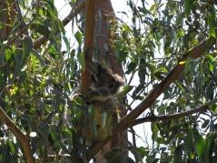 Great Ocean Road, Koala