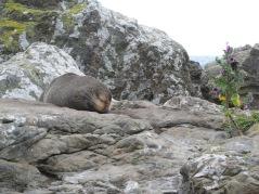 Seal, Neuseeland Südinsel